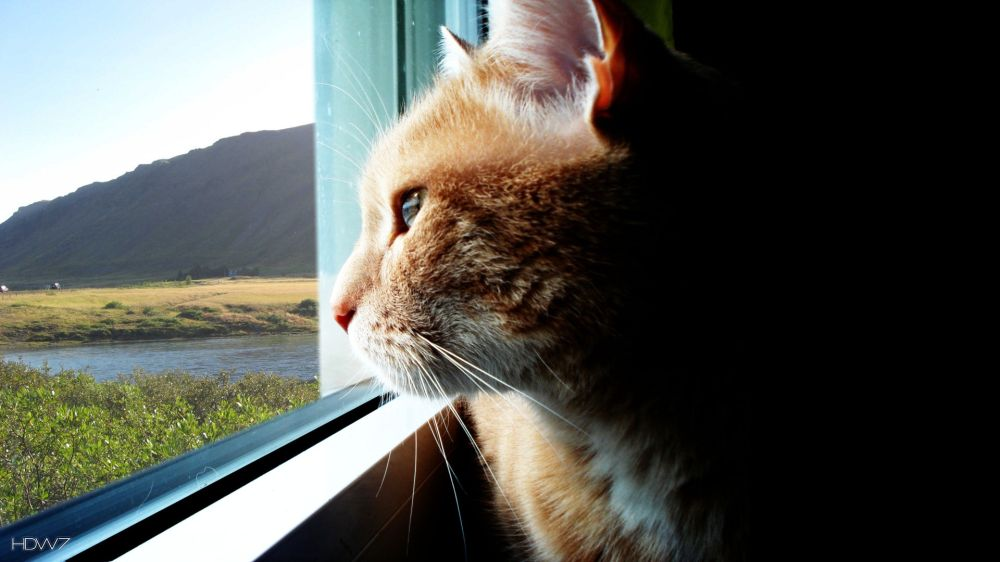 cat-looking-out-of-the-window-wallpaper